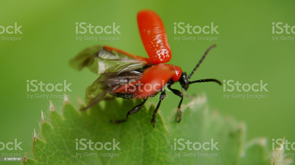 Red lily beetle. Ready for take off royalty-free stock photo