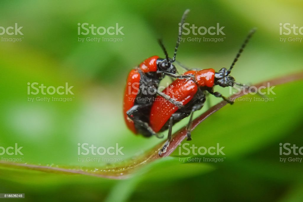 Red lily beetles mating on a lily leaf royalty-free stock photo