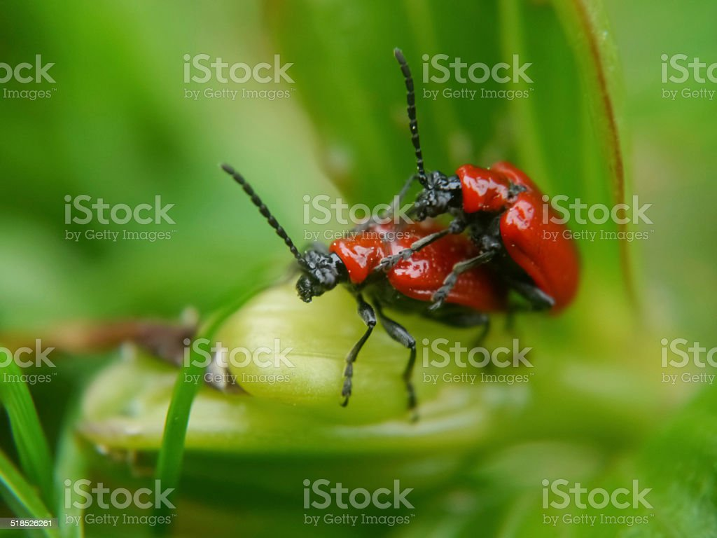 Red lily beetles mating royalty-free stock photo
