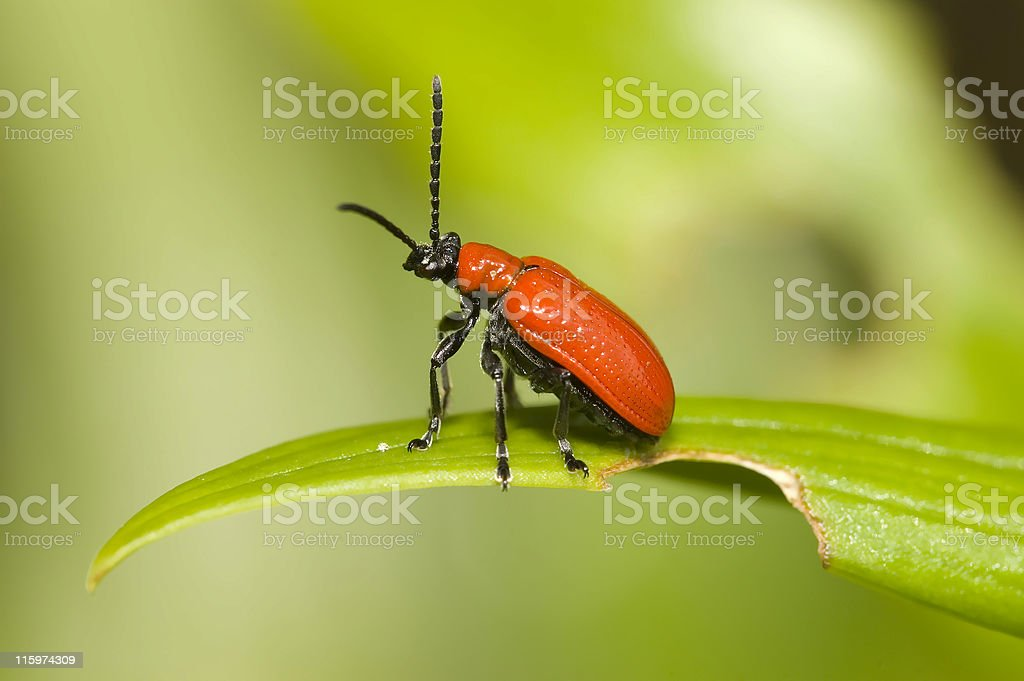 Red lily leaf beetle bug royalty-free stock photo