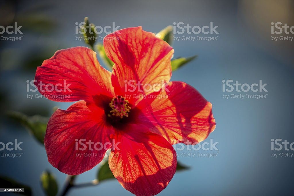 Red lily royalty-free stock photo