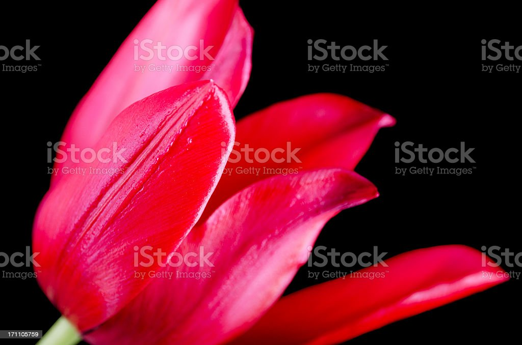 Red lily-flowered tulip on black. stock photo