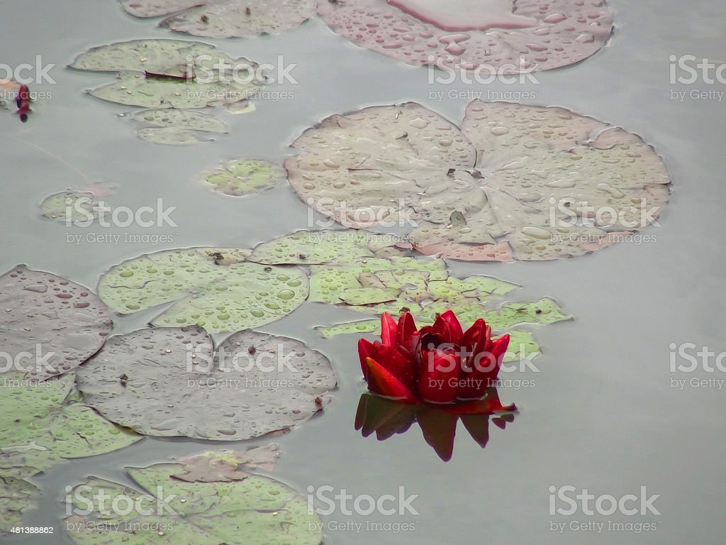 Red lilypad bloom after heavy rainstorm stock photo