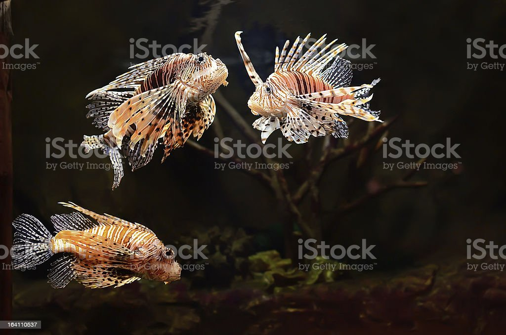 Red lion (Pterois miles) fish royalty-free stock photo