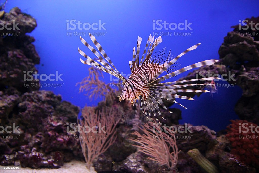 Red lionfish close up underwater stock photo