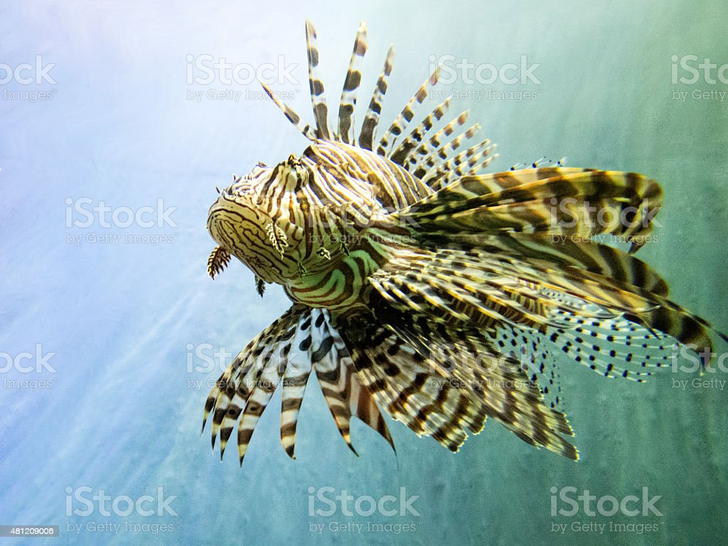 Red lionfish stock photo