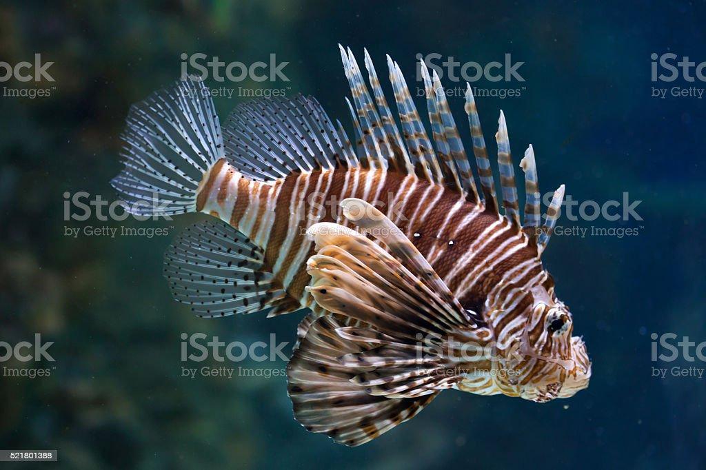 Red lionfish (Pterois volitans). stock photo