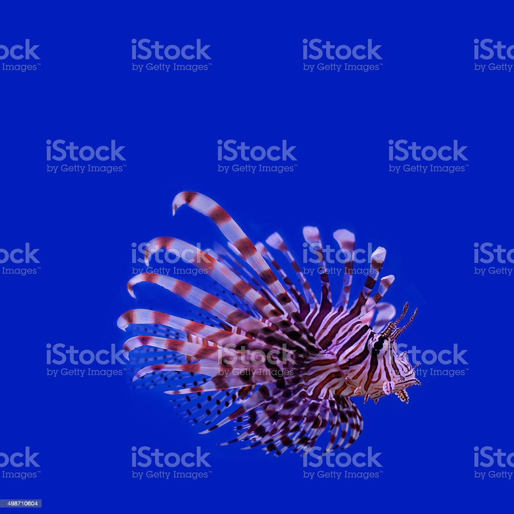 Red lionfish. Pterois miles. poisonous ocean fish. blue background. soft stock photo