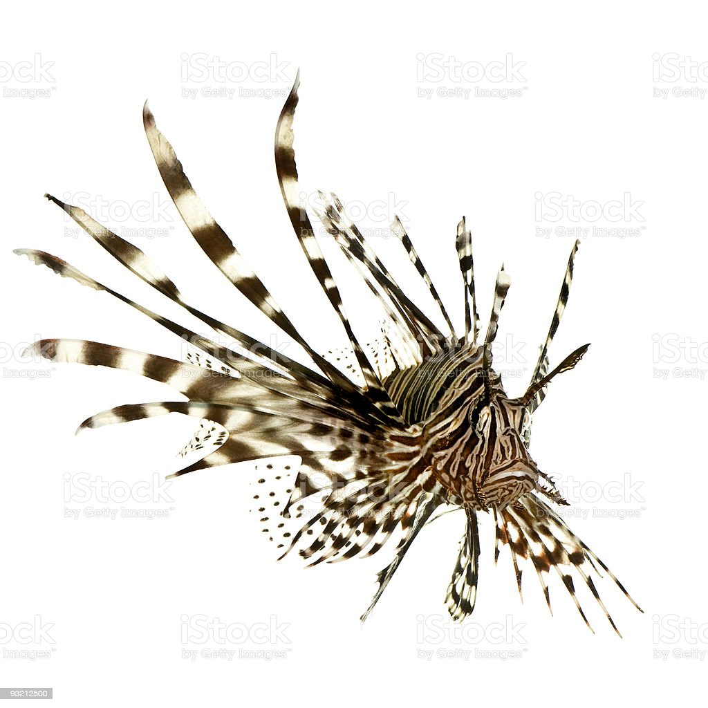 Red lionfish - Pterois volitans royalty-free stock photo