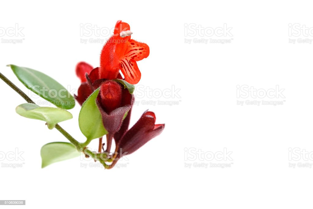 Red Lipstick flower. Aeschynanthus radicans stock photo