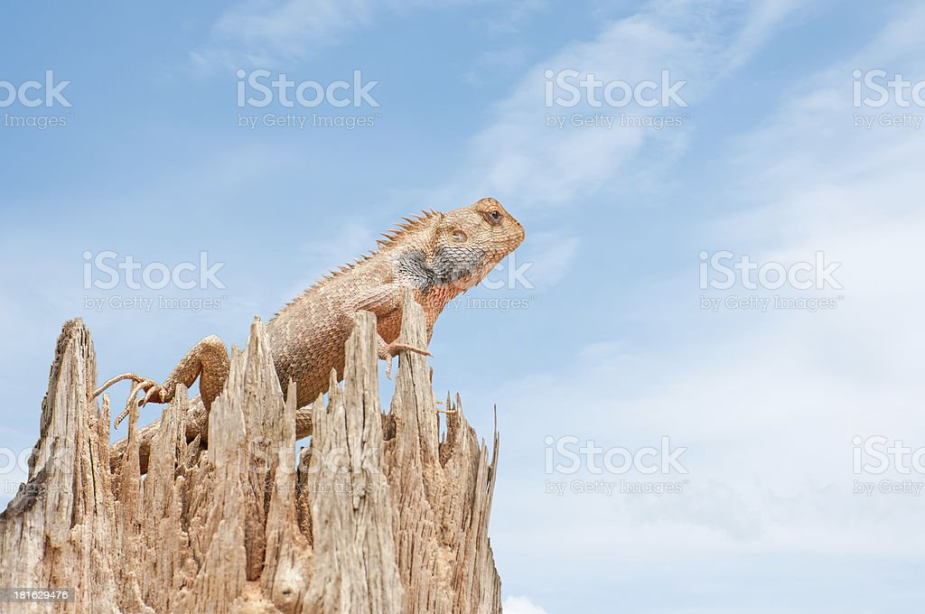 Red Lizard royalty-free stock photo
