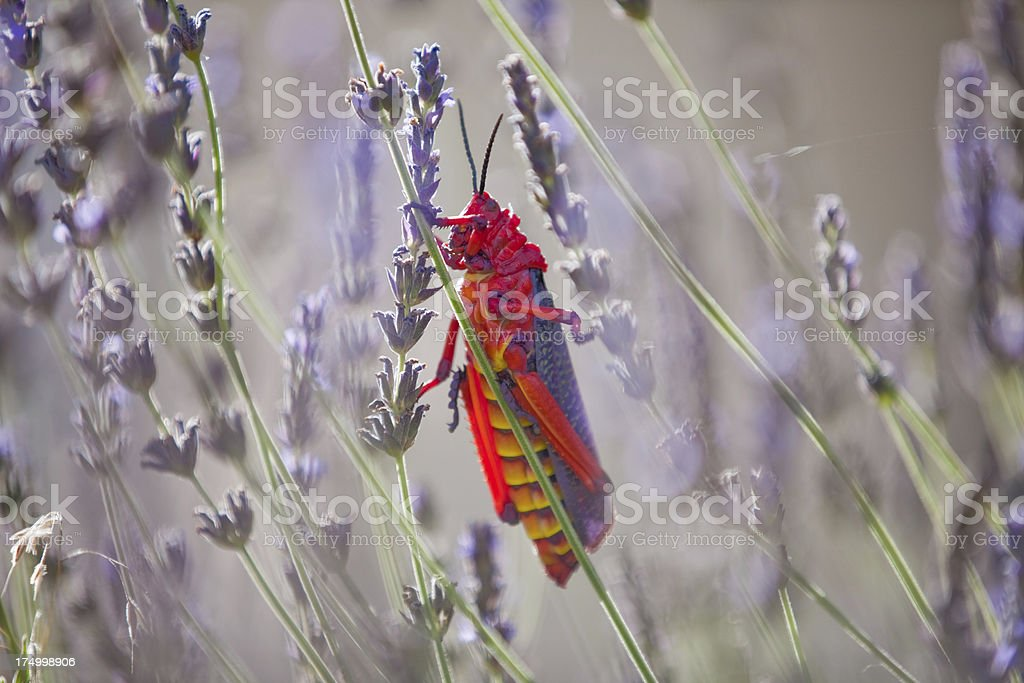 red locust on lavender royalty-free stock photo