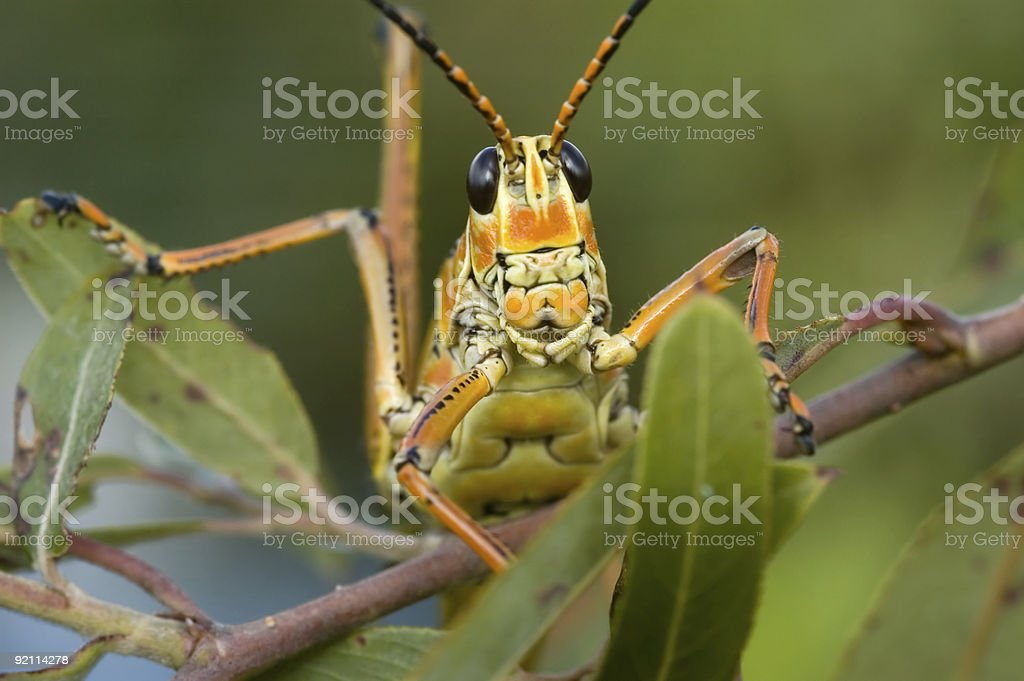 Red Locust royalty-free stock photo