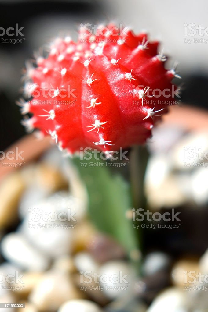 Red lollypop cactus stock photo