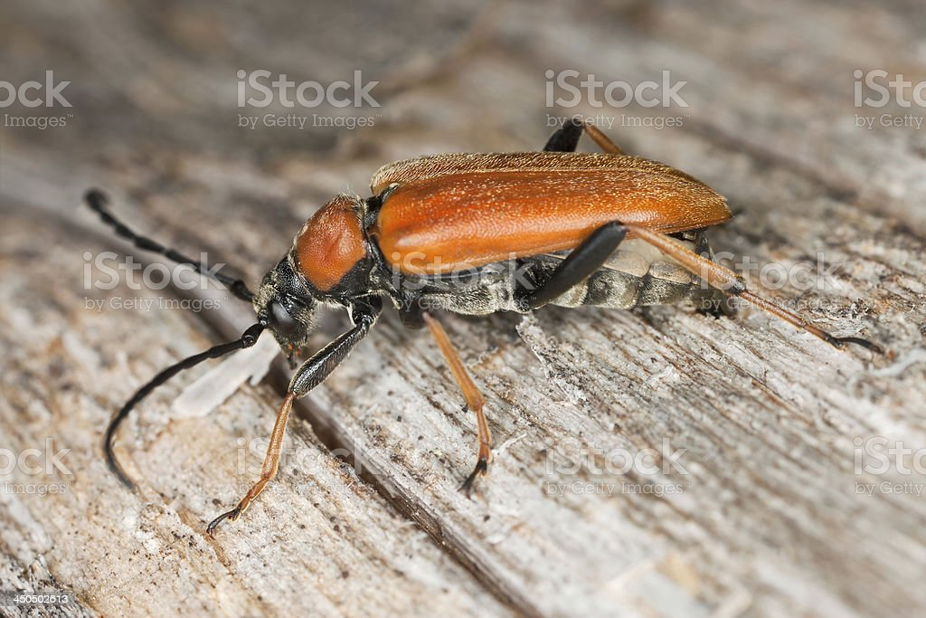 Red longhorn beetle (Stictoleptura rubra) laying eggs on log stock photo