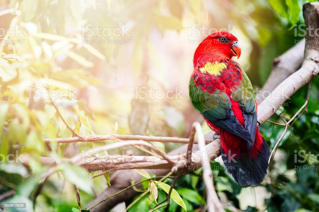 Red Lory or Lorikeet stock photo