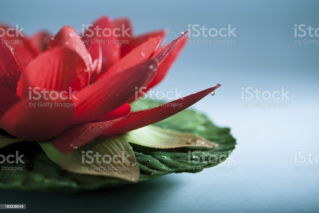 Red lotus flower royalty-free stock photo