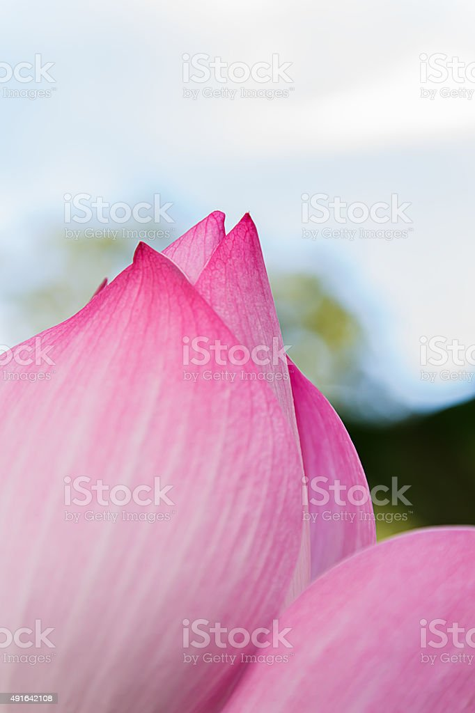 Red lotus pond blooming lotus stock photo