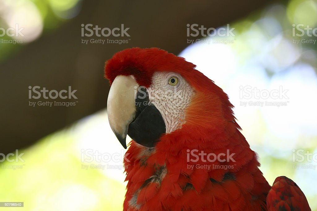 Red Macaw Head Close Up royalty-free stock photo