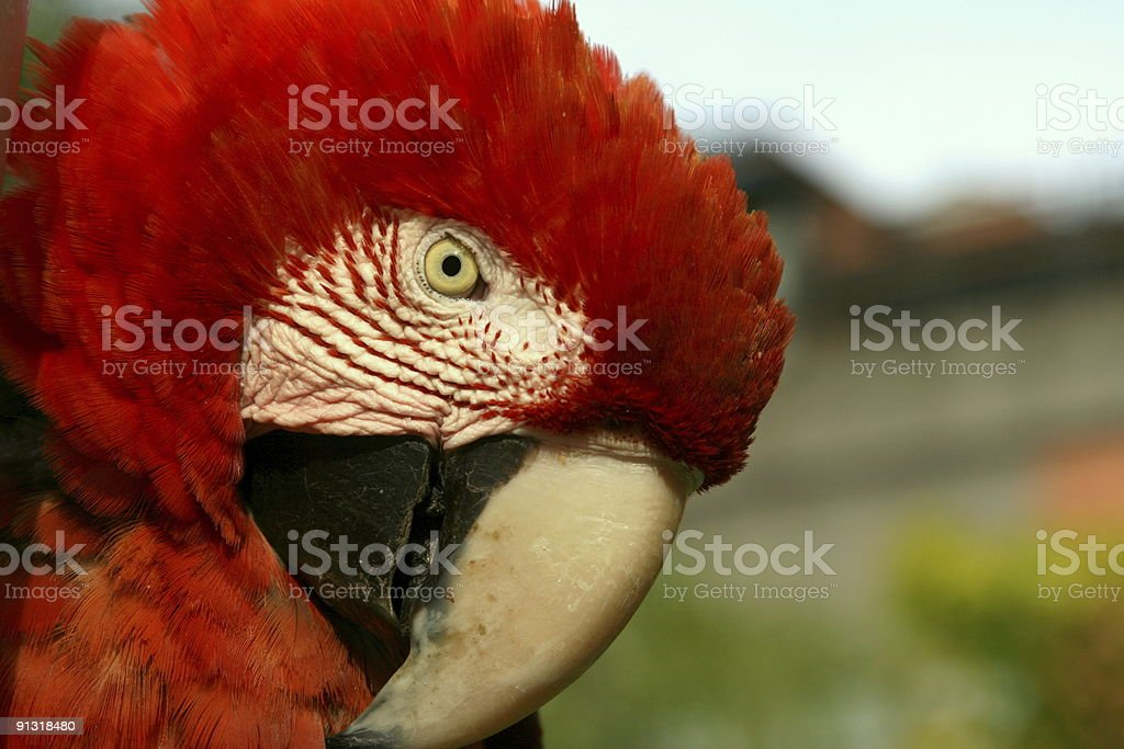 Red Macaw stock photo