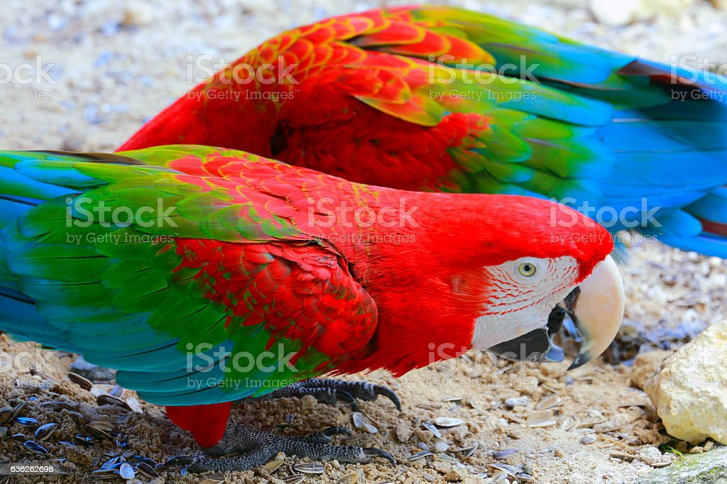 Red macaw tropical BIRD eating, brazilian rio tropical rainforest stock photo