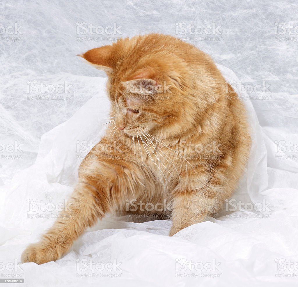 red Maine Coon kittten royalty-free stock photo