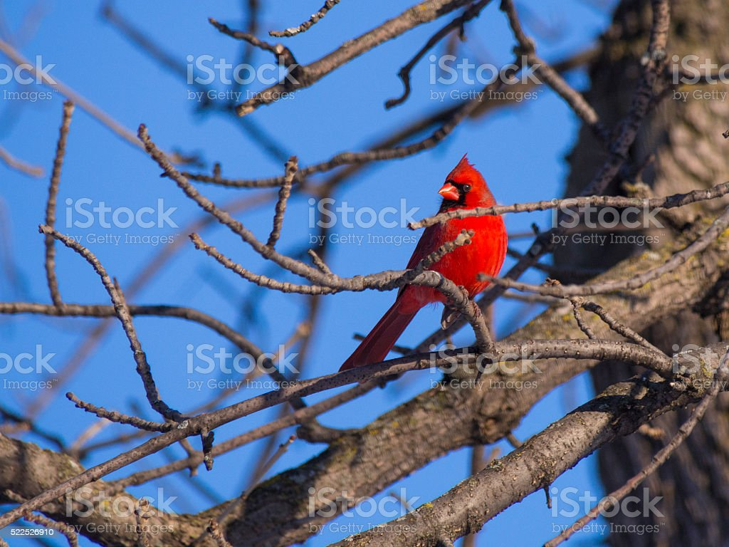 Red Male Cardinal Bird on a branch stock photo