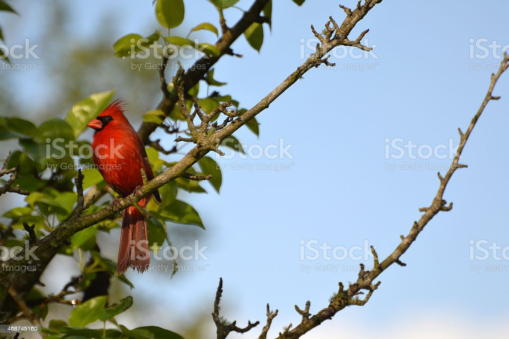 Red Male Cardinal In Pear Tree stock photo