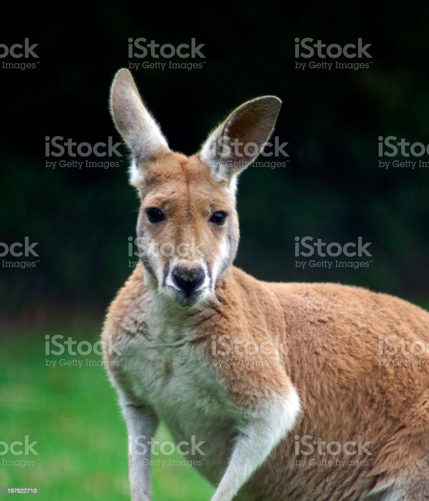Red Male Kangaroo royalty-free stock photo