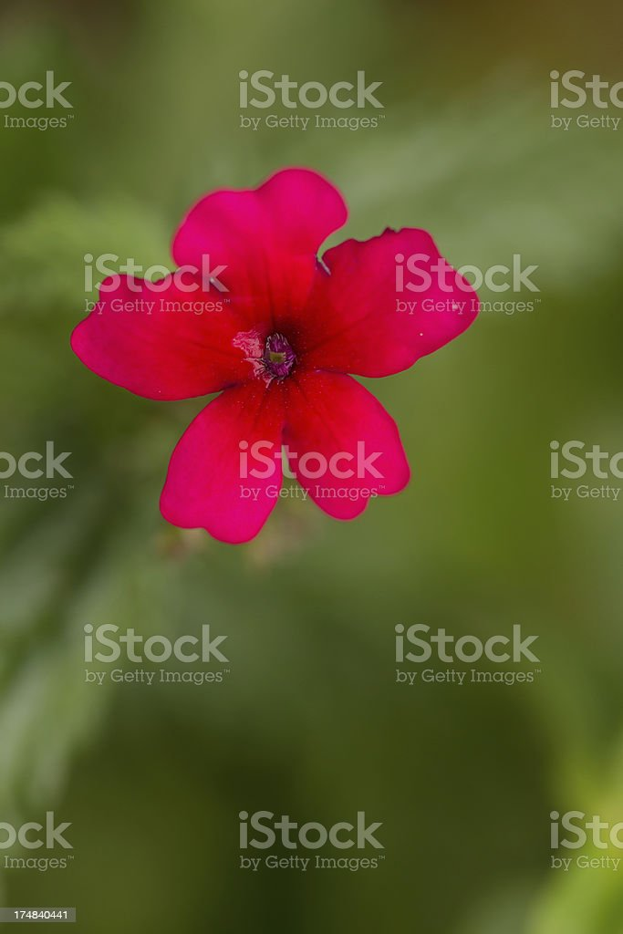 Red maltese cross royalty-free stock photo