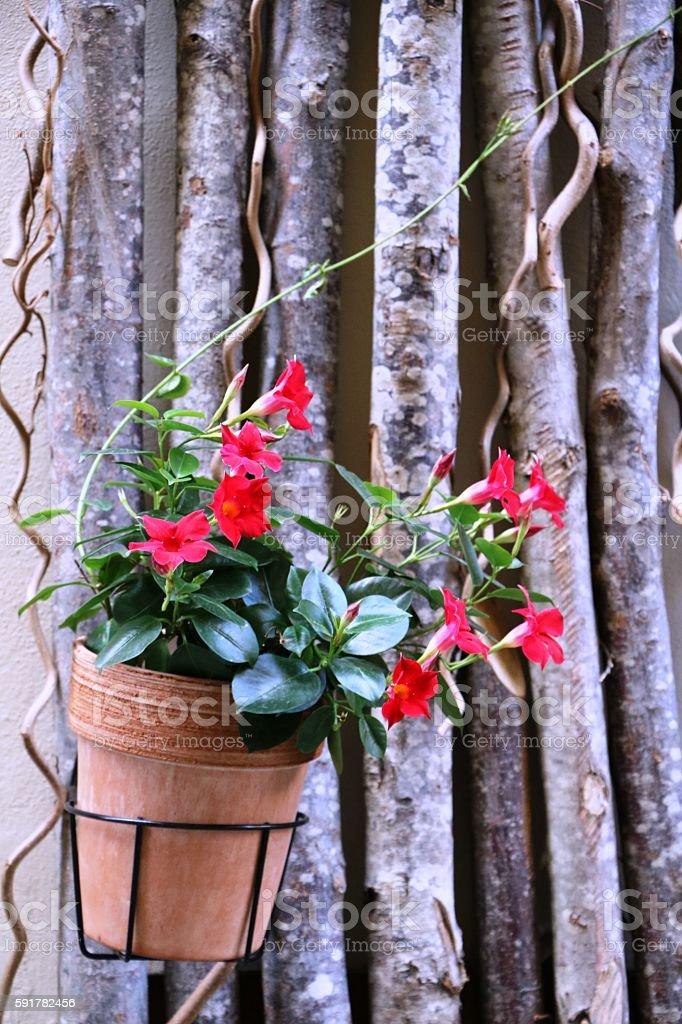 Red Mandevilla in flowerpot stock photo