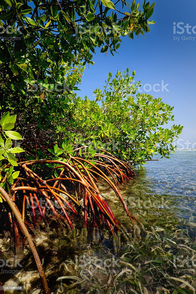 Red mangrove forest and shallow waters in a Tropical island royalty-free stock photo