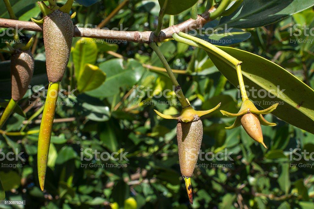 Red mangrove propagules on branch stock photo
