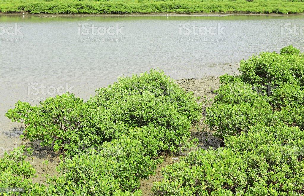 Red Mangrove wood in Hong Kong royalty-free stock photo
