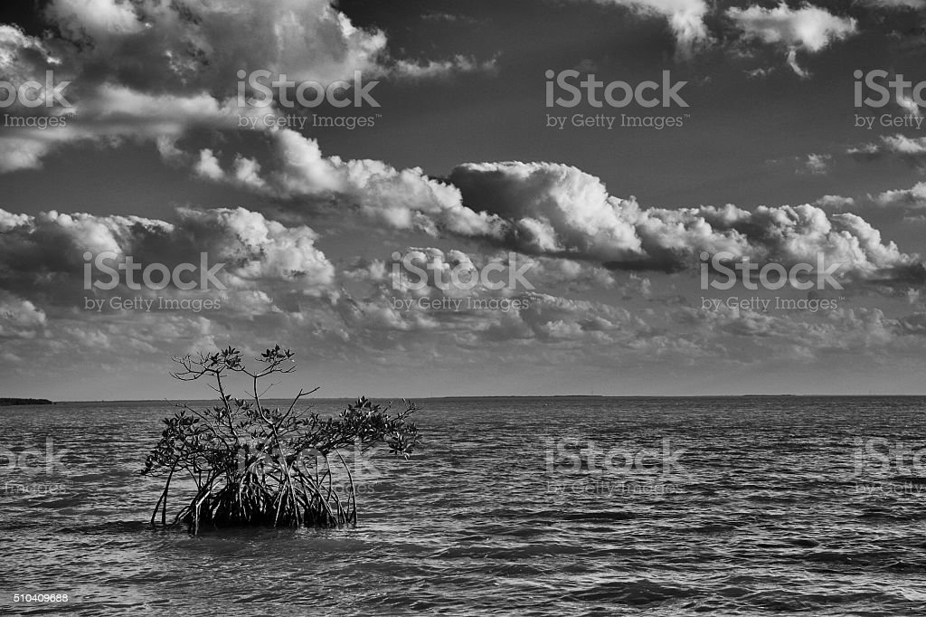 Red Mangroves in Florida Bay stock photo