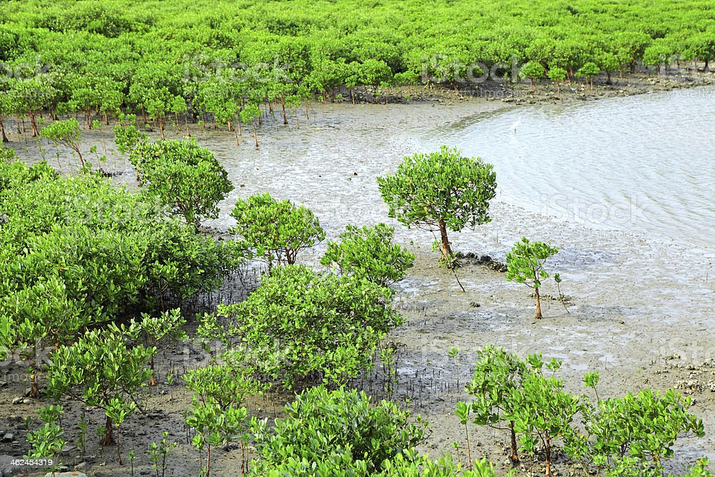 Red Mangroves royalty-free stock photo
