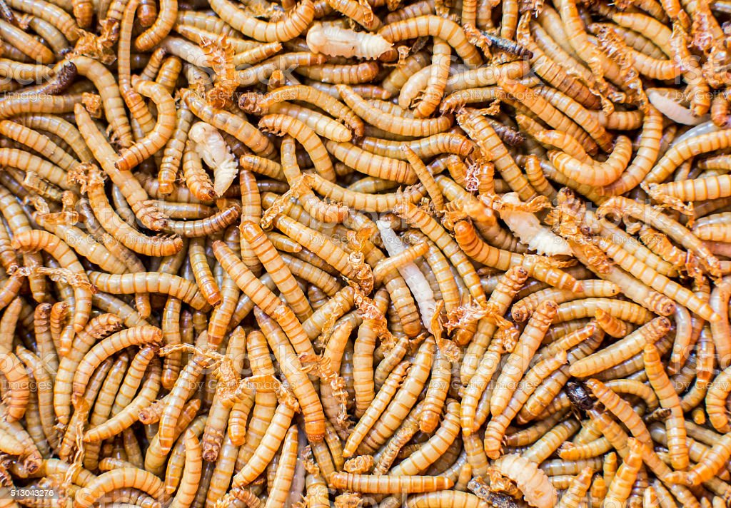 red manure worms closeup stock photo