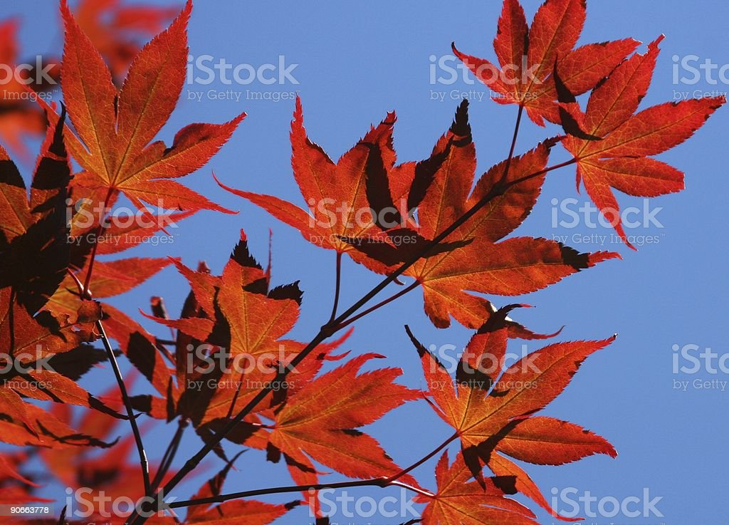 Red Maple Against Blue Sky royalty-free stock photo