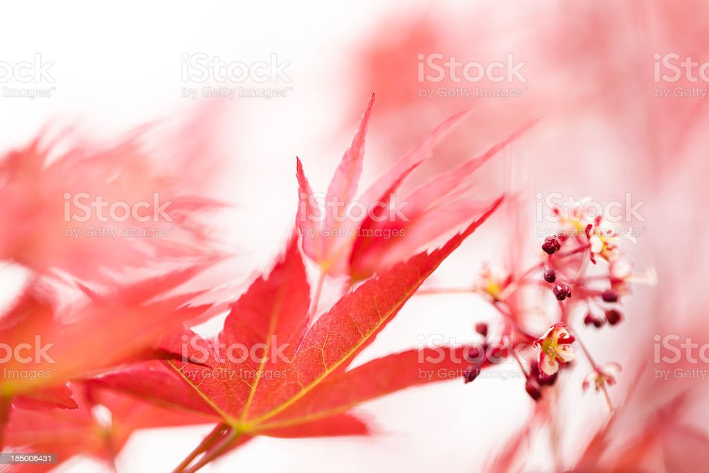 red maple flower royalty-free stock photo