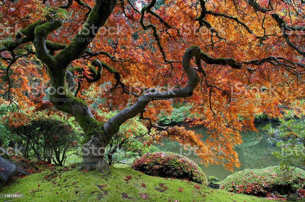 Red maple, Japanese garden stock photo