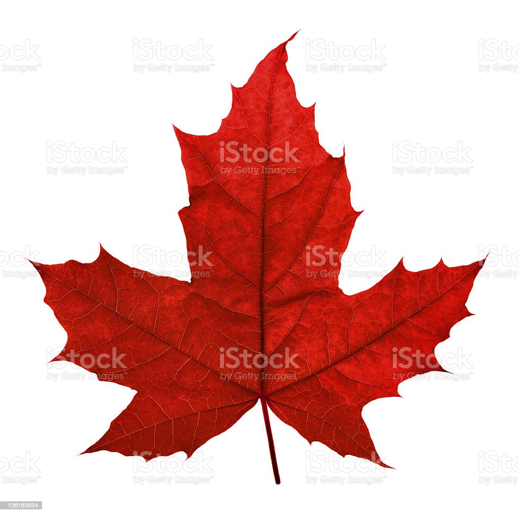 Red maple leaf against white background stock photo