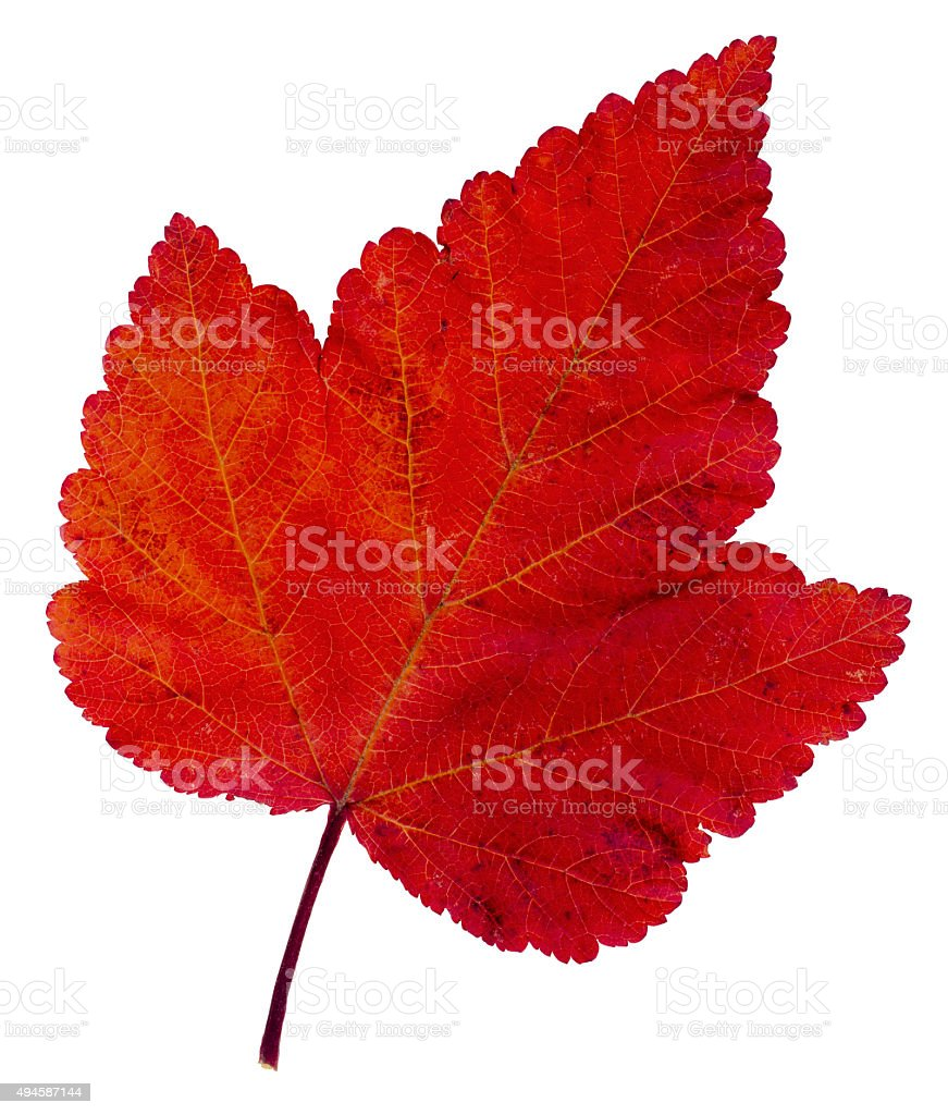 Red maple leaf as an autumn symbol stock photo