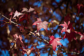 Red maple leaf at Napa, California