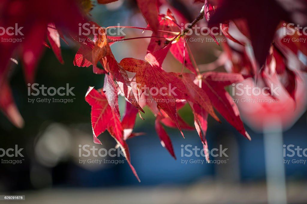 Red maple leaf at Napa, California stock photo