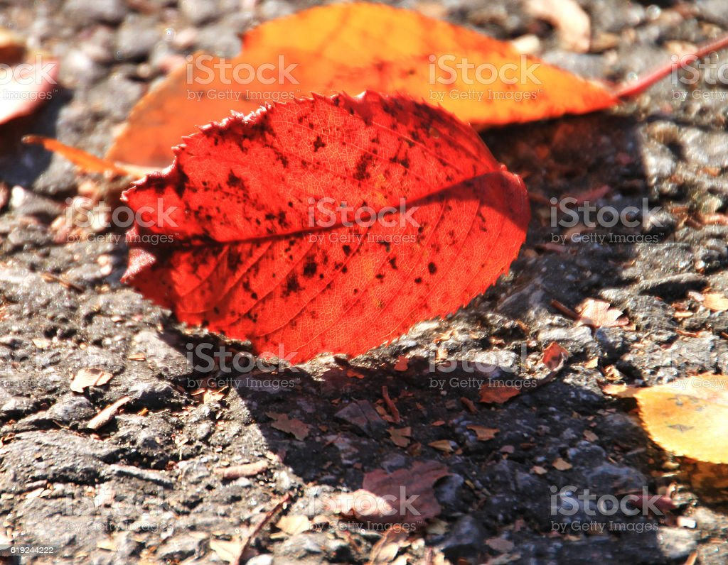 Red maple leaf down on the street. stock photo