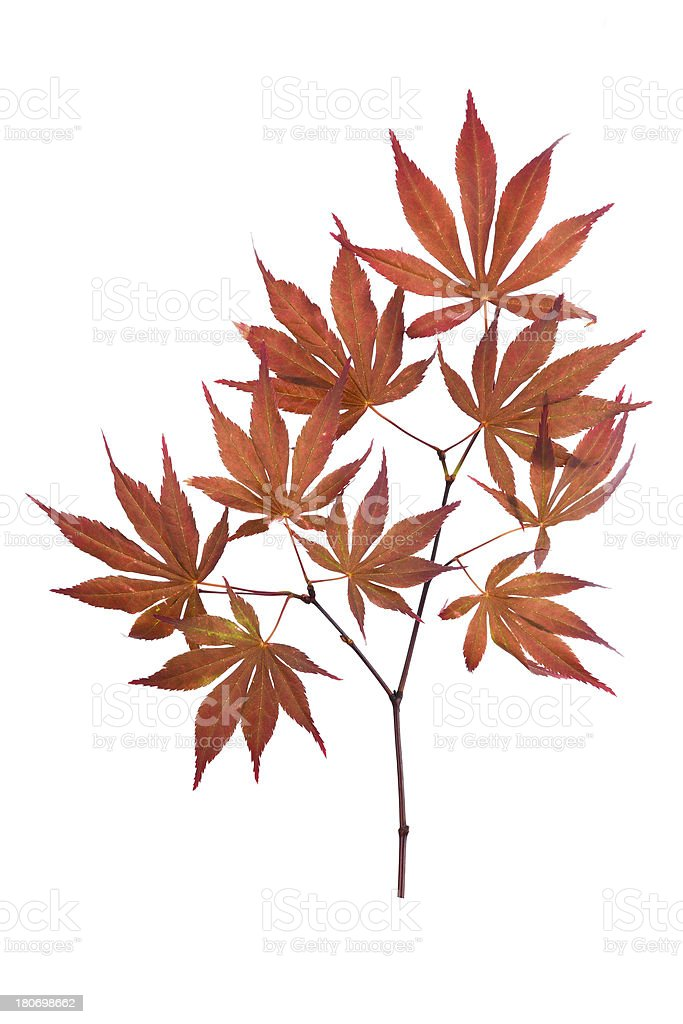 red maple leaf isolated on white background royalty-free stock photo
