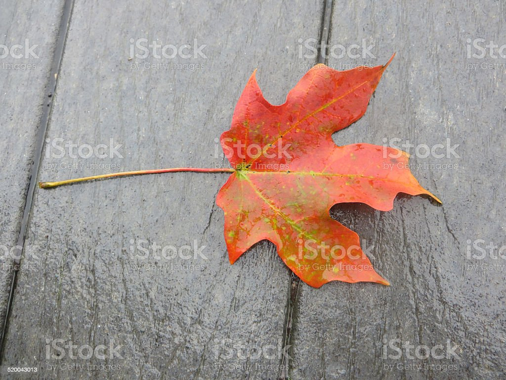 Red maple leaf on rainy day stock photo