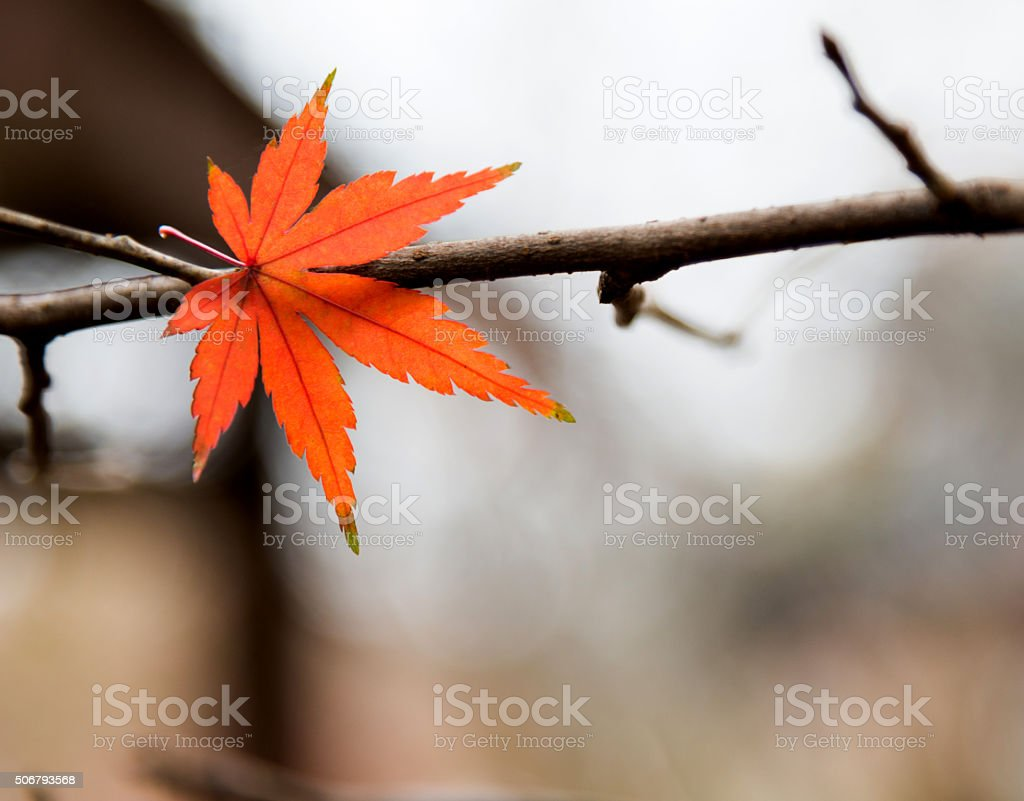 Red maple leaf on tree stock photo