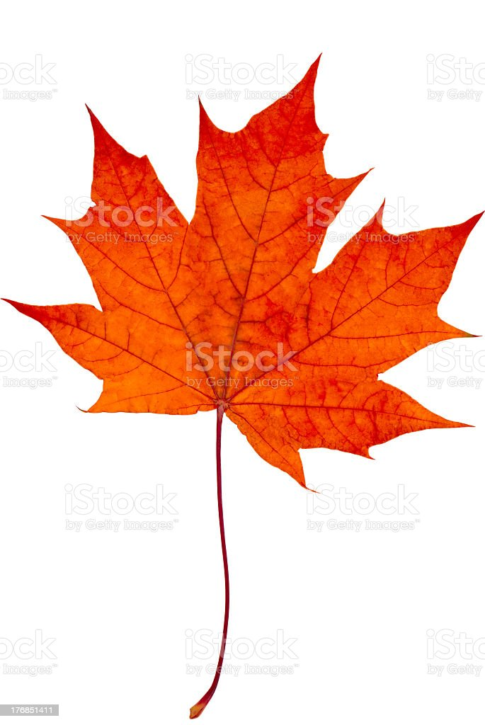 Red maple leaf on white background stock photo
