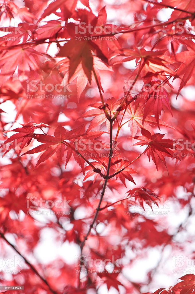 Red Maple Leaf royalty-free stock photo